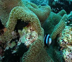 BD-090924-Bunaken-9243785-Amphiprion-polymnus-(Linnaeus.-1758)-[Saddleback-clownfish].jpg